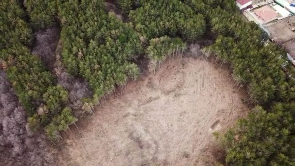изсечената борова гора